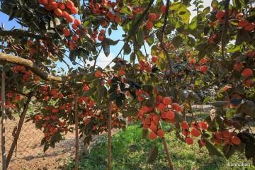Món quà ngọt lành của phố núi Đà Lạt trong độ hồng chín rộ
