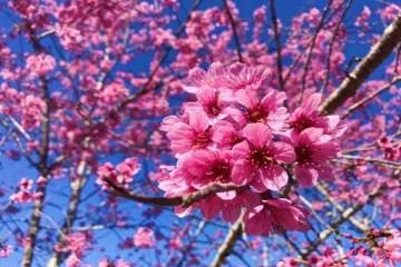 Những cung đường ngắm hoa mai anh đào đẹp nhất Đà Lạt