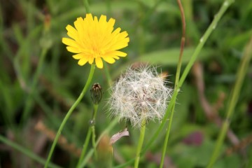 Đôi nét về sự tích hoa Bồ Công Anh