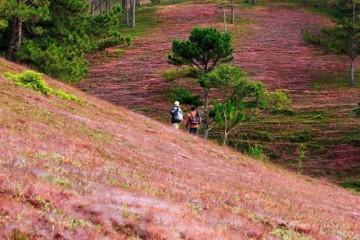 Hướng dẫn tham quan đồi cỏ hồng, cỏ tuyết Đà Lạt 2019