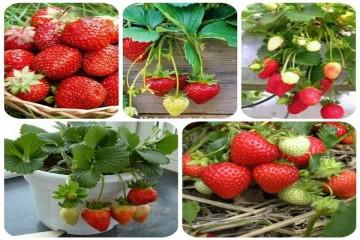 Địa chỉ 5 vườn dâu tây uy tín và chất lượng tại Đà Lạt