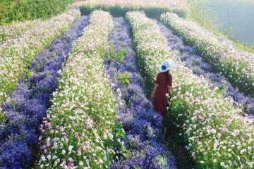 F Cánh Đồng Hoa - Thiên đường hoa Đà Lạt