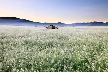 Cánh Đồng Hoa Cải Trắng - Vẻ đẹp trong sáng tháng 12 của Đà Lạt
