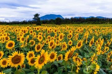 """Cánh đồng hoa hướng dương - Cánh đồng """"mặt trời nhỏ"""" của Đà Lạt"""