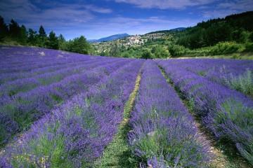 """Ghé Đà Lạt để được """"lạc trôi"""" giữa cánh đồng hoa oải hương mộng mơ"""
