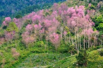 Chiêm ngưỡng khung cảnh đẹp ngẩn ngơ của sắc hồng phủ kín Đà Lạt