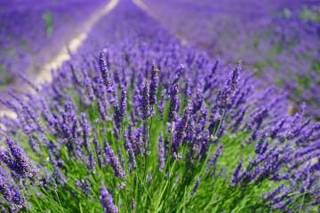Cung cấp sỉ và lẻ hoa Lavender khô Đà Lạt